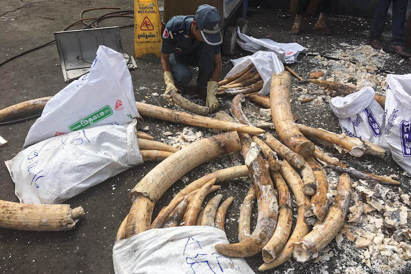 999affeffe5b Ivory Worth Millions Uncovered After Bust - The Cambodia Daily